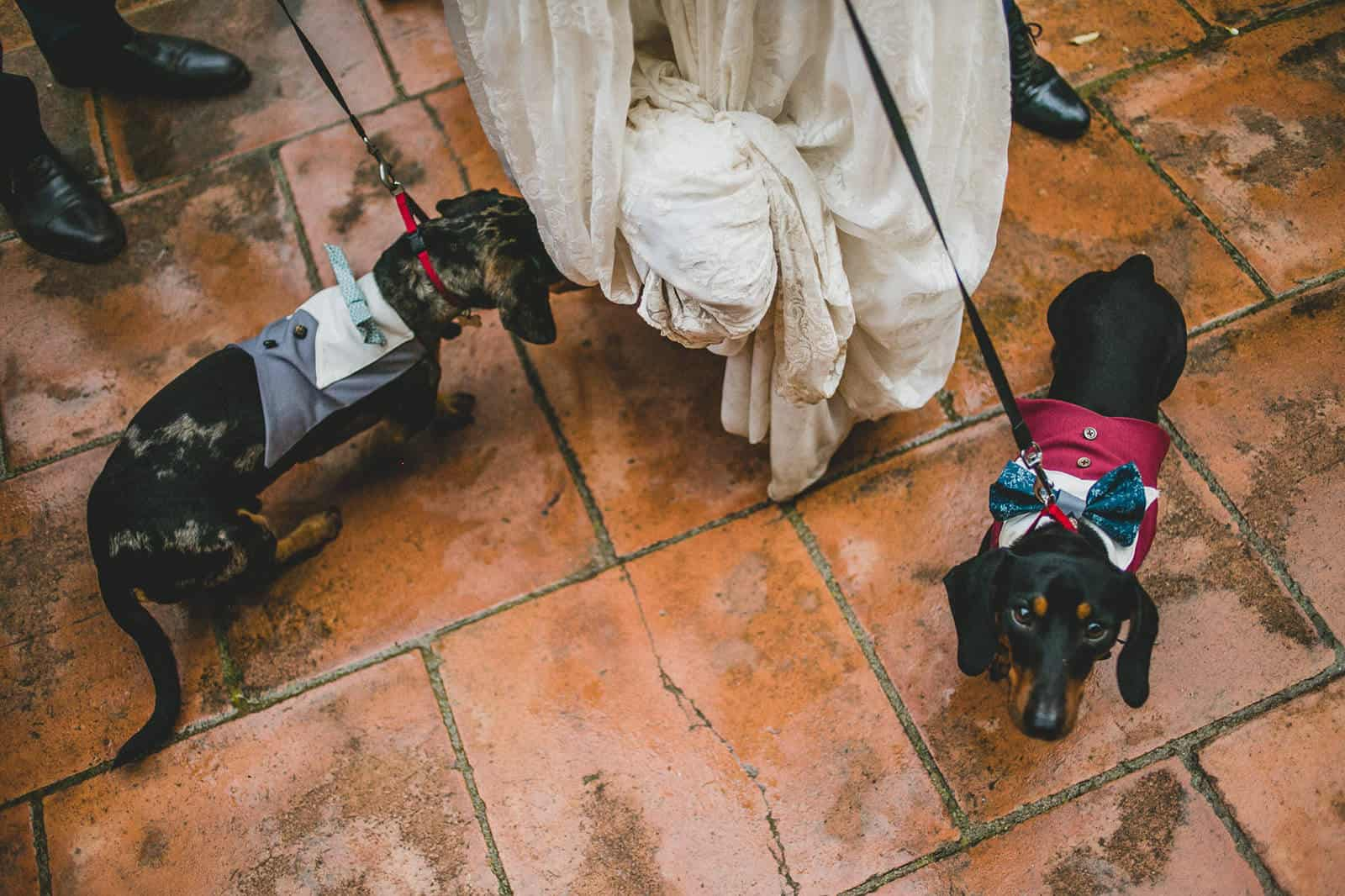 little dogs with the bride